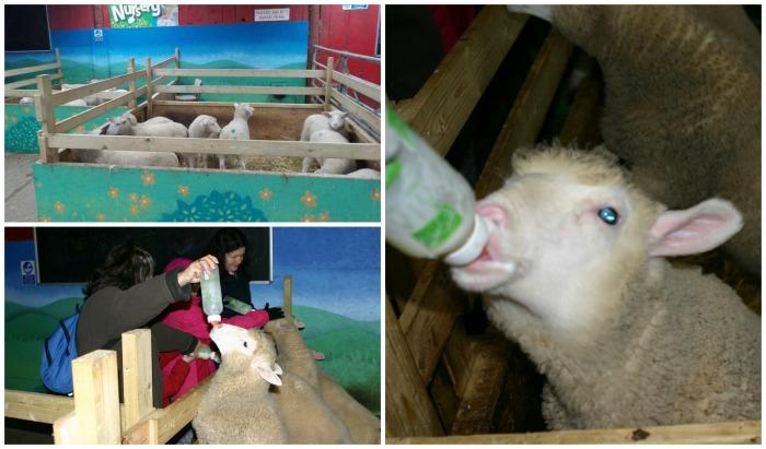 Feeding the lambs at Twinlakes Park