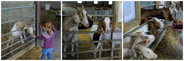 Feeding the goats at Playdale Farm Park
