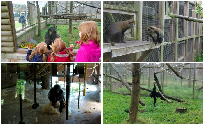 Apes and primates at Twycross Zoo