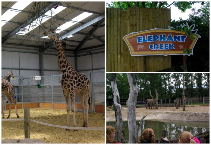 Elephants and giraffes at Twycross Zoo