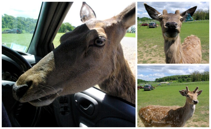 Feeding the deer at Longleat Safari Park