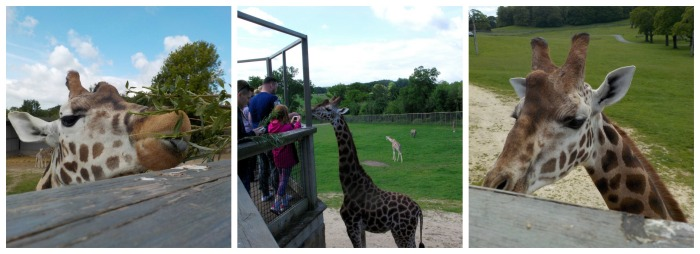 Giraffe feeding at Longleat Safari Park