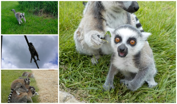 Lemurs at Longleat Safari Park