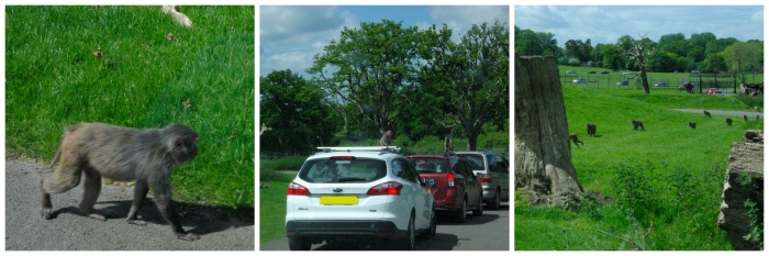 The drive through monkey enclosure at Longleat Safari Park