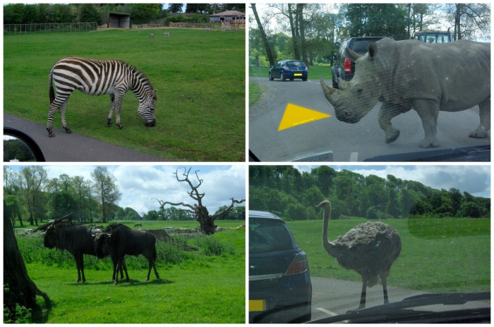 The safari drive at Longleat Safari Park