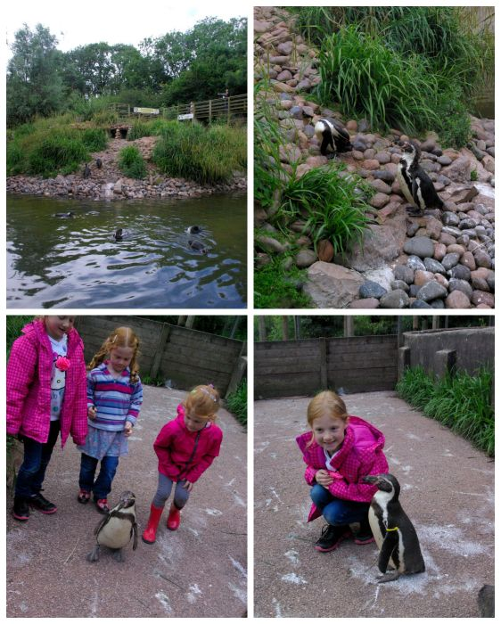 Penguins at South Lakes Safari Zoo