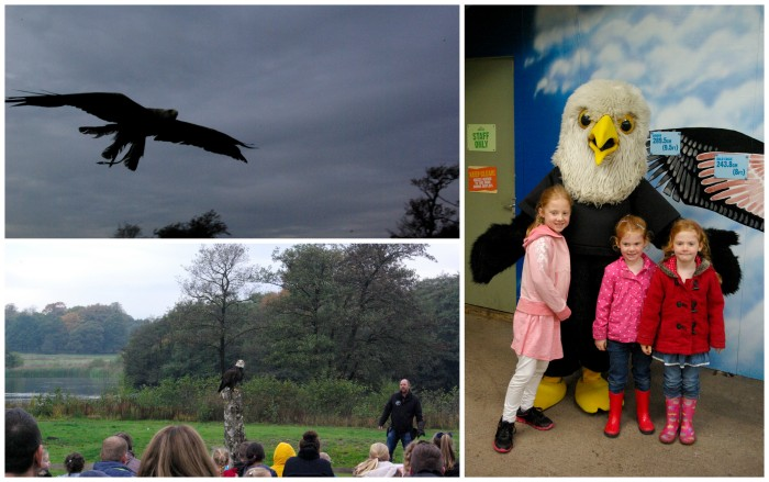 Birds of prey display at Knowsley Safari Park