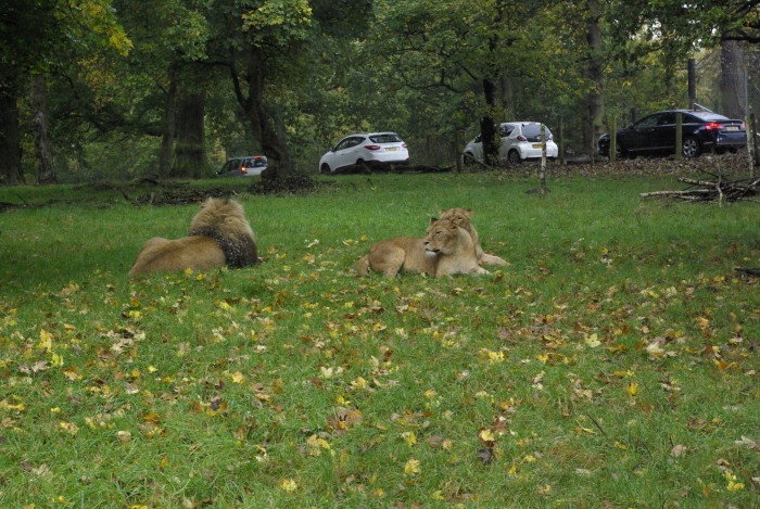 Lions at Knowsley Safari Park