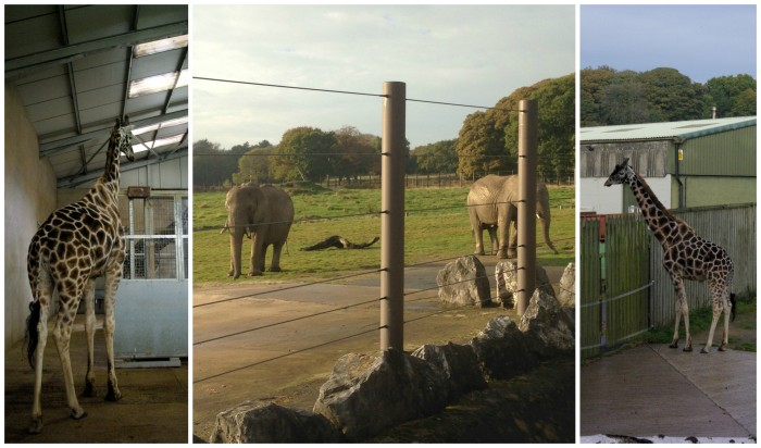 Giraffes and Elephants at Knowsley Safari Park