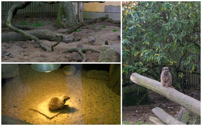 Meerkats at Knowsley Safari Park