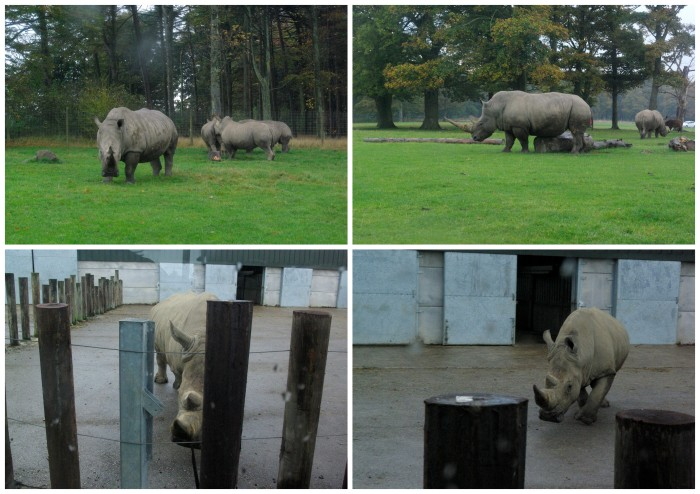 Rhinos at Knowsley Safari Park