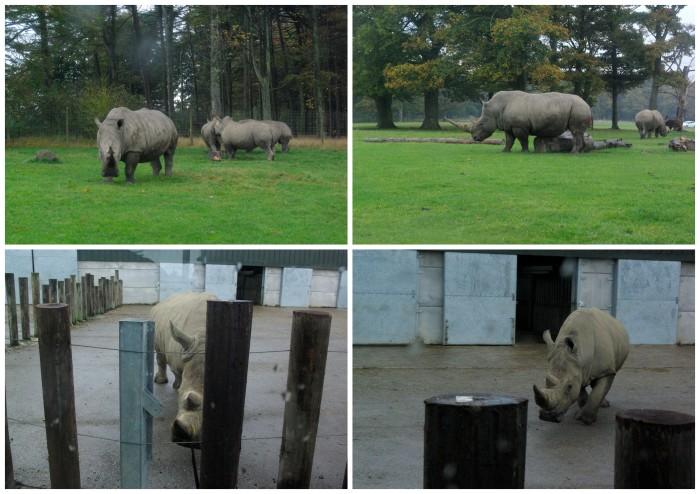 Rhinos at Knowsley Safari Park