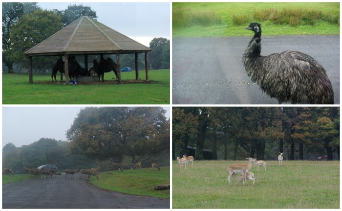 The safari drive at Knowsley Safari Park