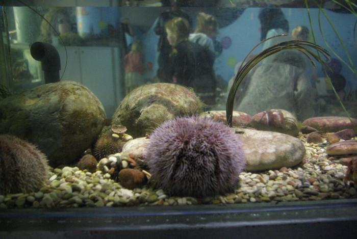 A sea urchin at The Deep Hull