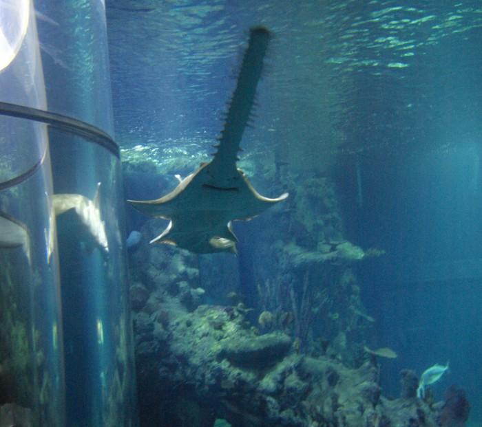 A sawfish at The Deep Hull
