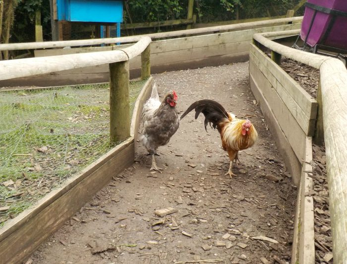 Chickens at The Minature Pony Centre Dartmoor