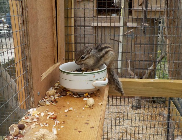 Chipmunk at Mini Pony Centre