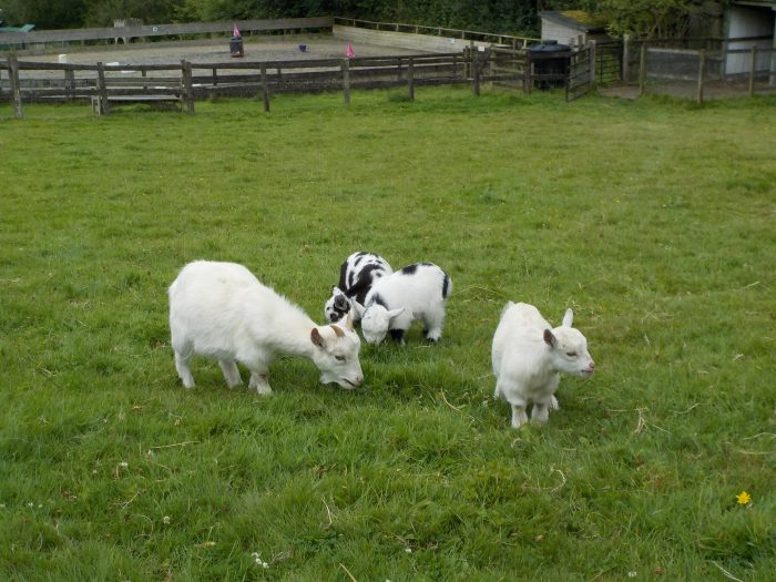 Pygmy goats at the Miniature Pony Centre