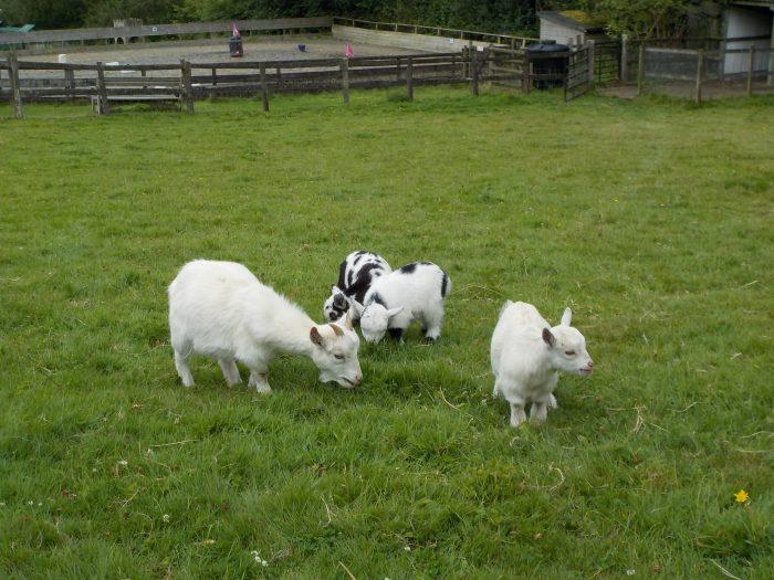 Pygmy goats at the Miniature Pony Centre