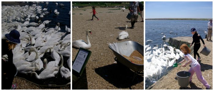 Feeding time at Abbotsbury Swannery