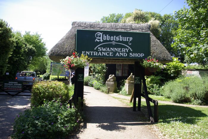 Abbotsbury Swannery Review