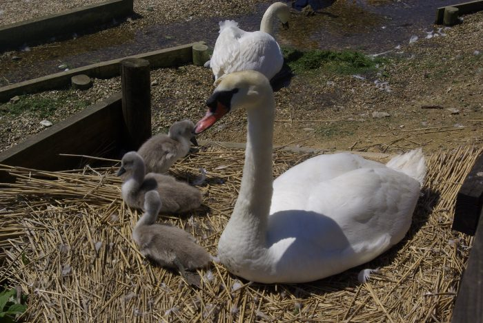 A family of swans at Abbotsbury Swannery