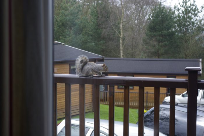 Squirrel visitor at Sandybrook Country Park