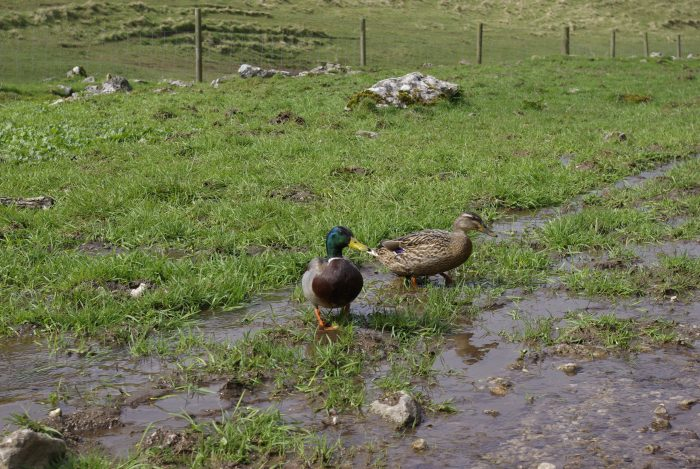 Dovedale ducks
