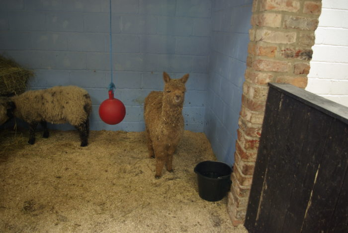 A baby alpaca at Lightwater Valley theme park in North Yorkshire