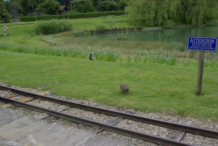 Ducks at Lightwater Valley